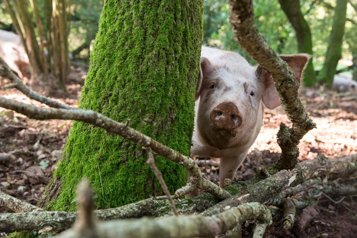 Conserverie Pays de l'Adour - élevage de porc élevés en liberté au pays basque